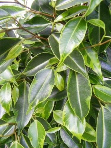 Фикус Анастасия (Ficus Anastasia): уход, размножение и пересадка