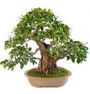 ficus-benjamina-bonsai-foto