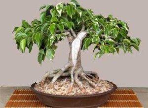 ficus-benjamina-bonsai-foto-domashih-usloviyah