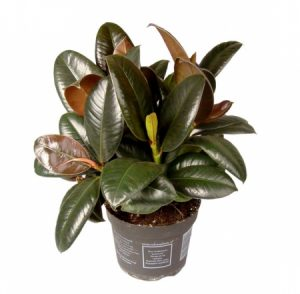 Фикус Мелани (Ficus Melany): советы по уходу, размножению и пересадке